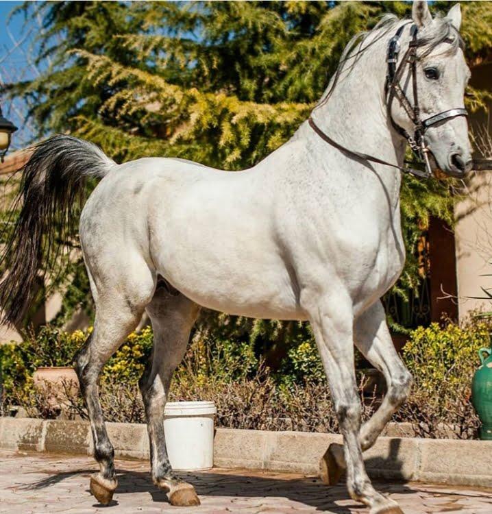 ۱۲۵۶۰۲ - اسب کرد ، تاریخچه اسب کرد